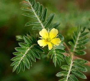 tribulus terrestris planta